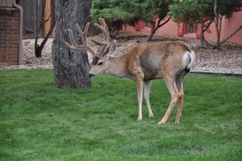Colorado Springs Deer