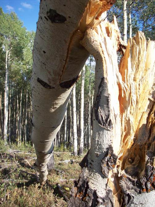 Felled Aspen Wyoming