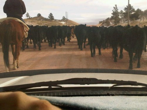 Cattle Drive in Livermore, Colorado