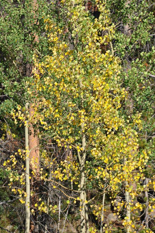 Aspen Tree Colorado