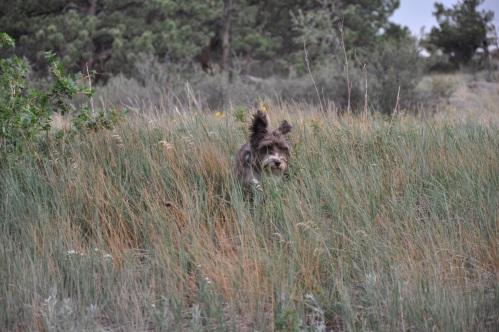Schnauzer running through tall grass