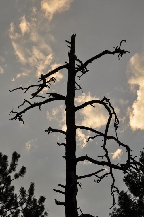 Old dead tree silhouette