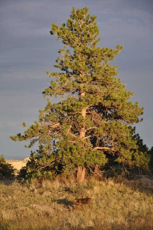 Colorado Tree airdale