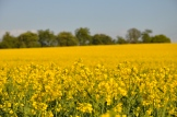Rapeseed Fields, Retford, UK