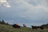 Cattle in Colorado